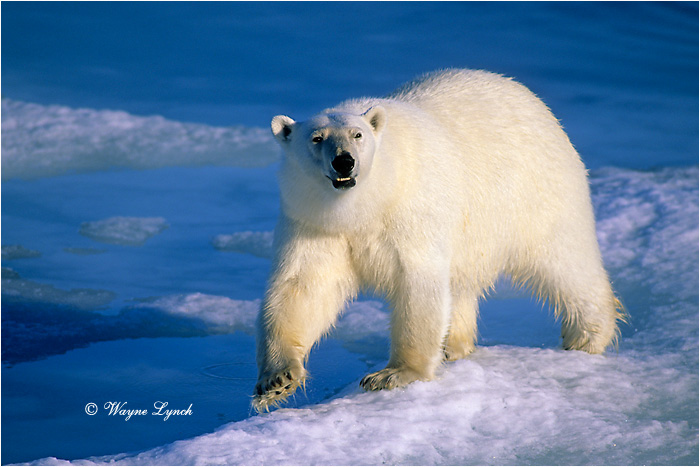 Polar Bear 169 by Dr. Wayne Lynch ©