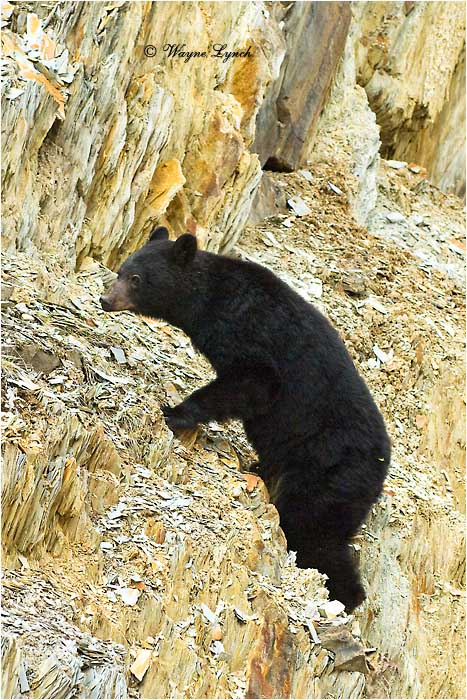 American Black Bear 122 by Dr. Wayne Lynch ©