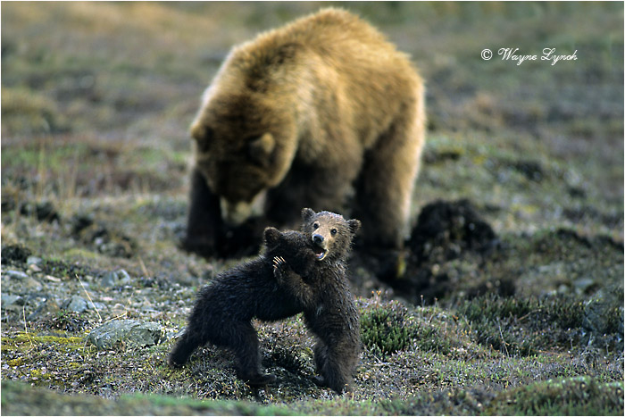 Grizzly Bear Cubs and Mother by Dr. Wayne Lynch ©