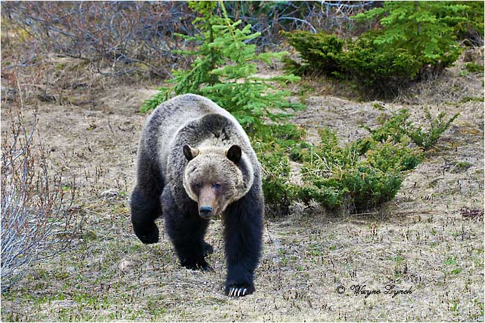 Mountain Grizzly Bear 113 by Dr. Wayne Lynch ©
