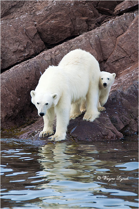 Female Polar Bear and Cub 103 by Dr. Wayne Lynch ©