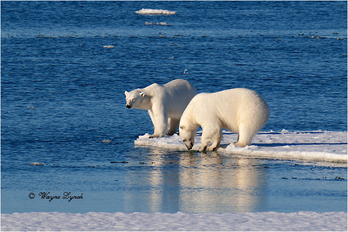 Polar Bears Interacting 111 by Dr. Wayne Lynch ©