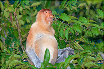 Proboscis Monkey, Borneo, 2014 by Dr. Wayne Lynch ©
