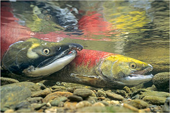 Spawning Sockeye Salmon, Adams River, BC, 2014 by Dr. Wayne Lynch ©