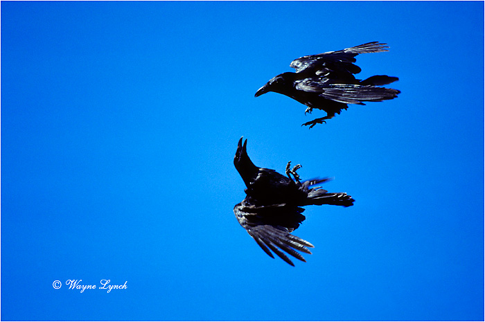 Common Raven 101 by Wayne Lynch ©