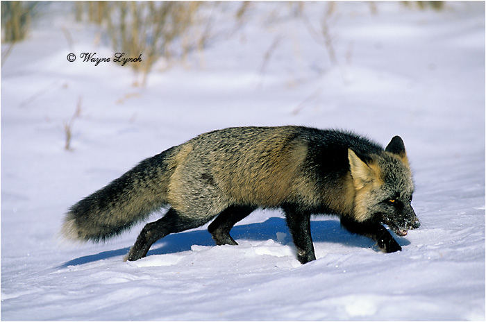 Cross Fox by Dr. Wayne Lynch ©