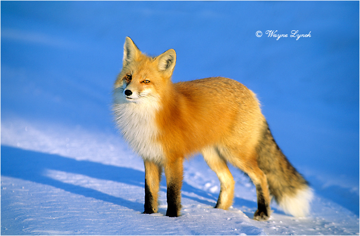 Red Fox by Dr. Wayne Lynch ©