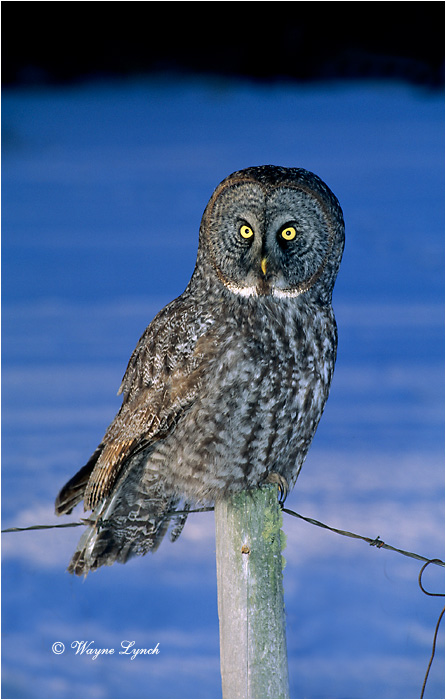 Great Gray Owl 103