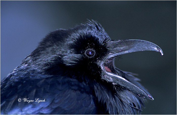 Common Raven 102 by Wayne Lynch ©