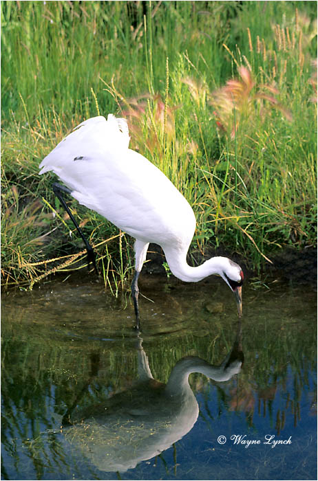 Whooping Crane 102 by Wayne Lynch ©