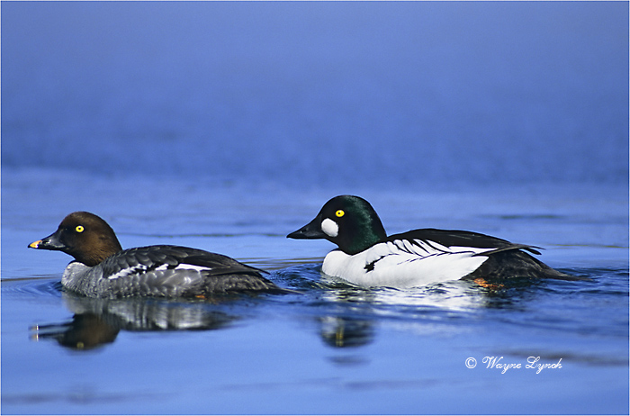 Courting Pair of Common Goldeneyes 101 by Dr. Wayne Lynch ©