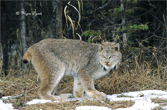 Canada Lynx 106 by Dr. Wayne Lynch ©
