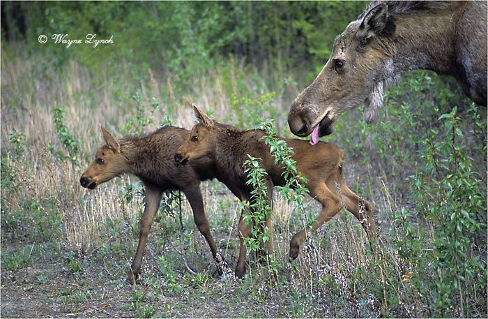 Cow Moose and Calves 120 by Dr. Wayne Lynch ©