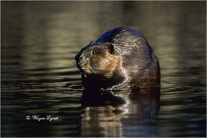 American Beaver 108 by Dr. Wayne Lynch ©