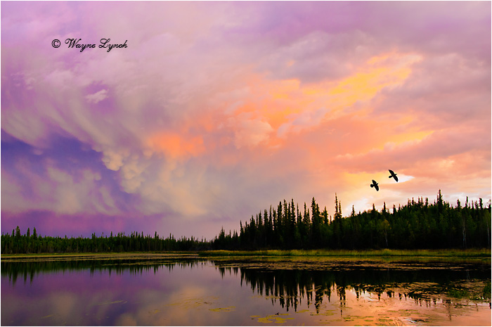 Ravens at Sunset by Dr. Wayne Lynch ©