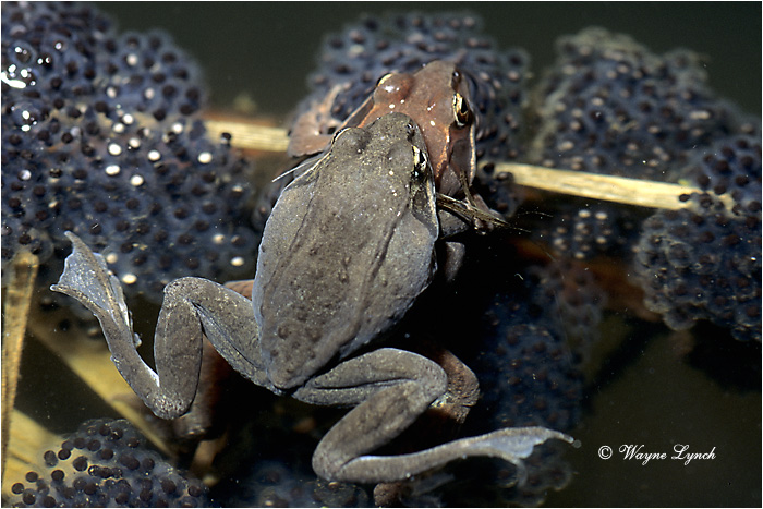 Wood Frog 103 by Dr. Wayne Lynch ©