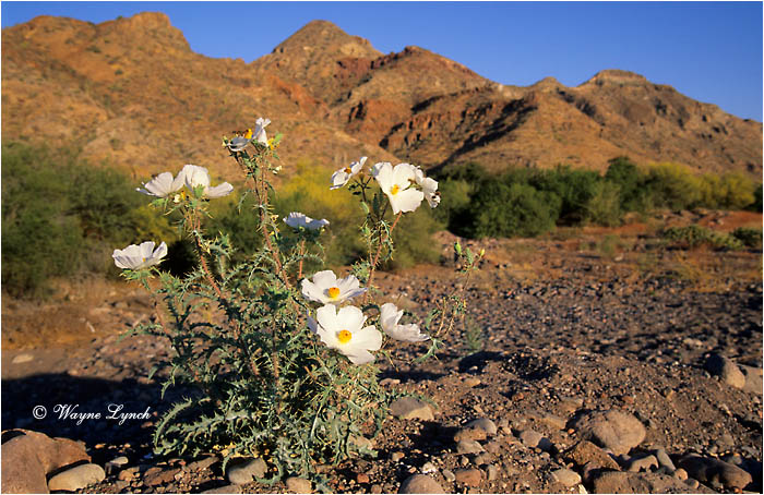 Prickly Poppy Baja Mexico 102 by Wayne Lynch ©