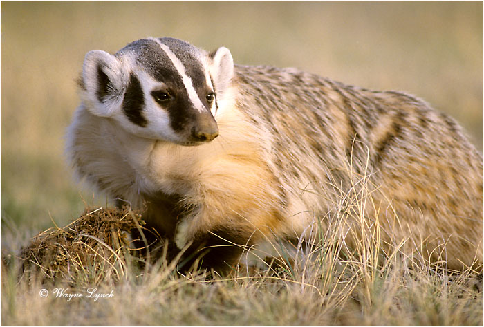 American Badger 102 by Wayne Lynch ©