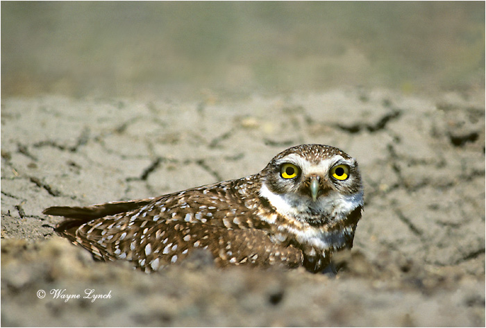 Burrowing Owl 101 by Wayne Lynch ©