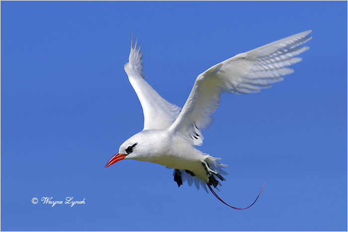 Red-tailed Tropic Bird 106 by Dr. Wayne Lynch ©