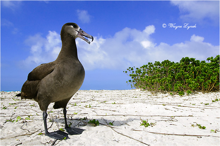Black-footed Albatross 111 by Dr. Wayne Lynch ©