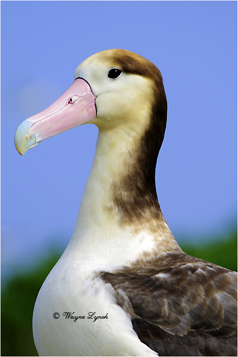 Short-tailed Albatross 101 by Dr. Wayne Lynch ©