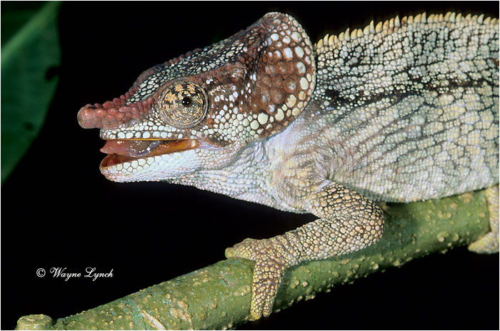 Short-horned Chameleon 101 by Dr. Wayne Lynch ©