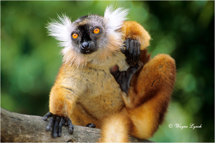 Female Black Lemur 101 by Dr. Wayne Lynch