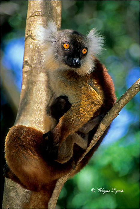 Female Black Lemur & Young 103 by Dr. Wayne Lynch ©