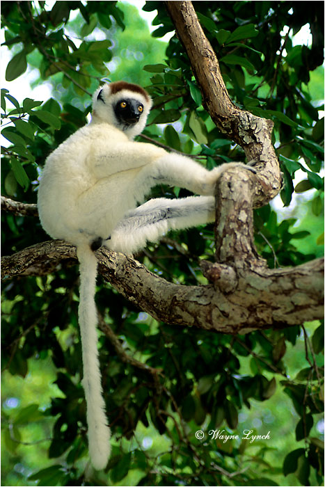 Verreaux's Sifaka 103 by Dr. Wayne Lynch ©