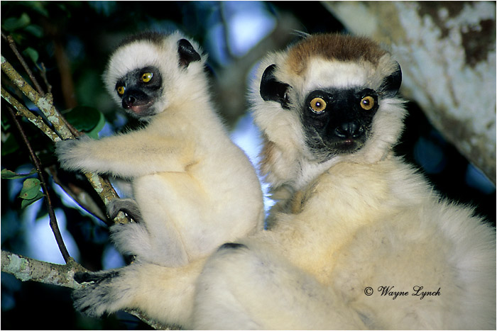 Verreaux's Sifaka 105 by Dr. Wayne Lynch ©