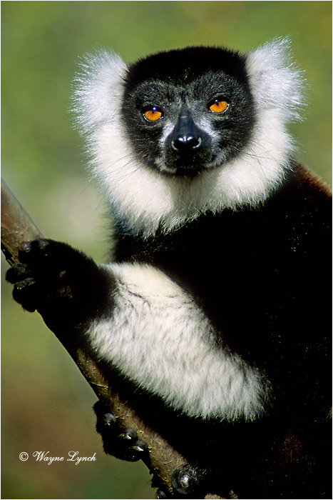Black & White Ruffed Lemur 101 by Dr. Wayne Lynch ©