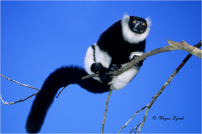 Black & White Ruffed Lemur 102 by Dr. Wayne Lynch ©