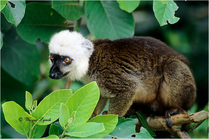 White-fronted Brown Lemur 101 by Dr. Wayne Lynch ©