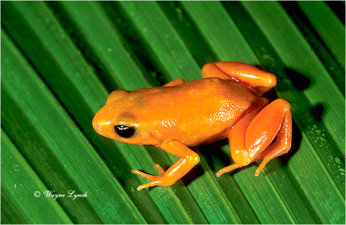 Golden Mantella 101 by Dr. Wayne Lynch ©