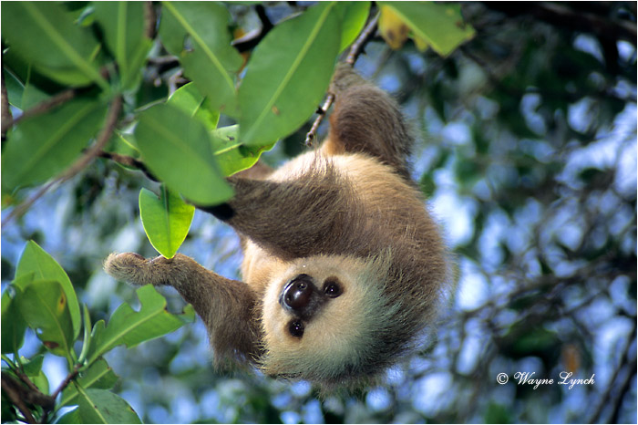 Two-toed Sloth Panama 101 by Dr. Wayne Lynch ©