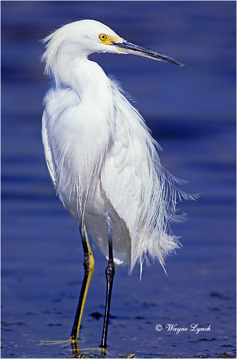 Snowy Egret 102 by Dr. Wayne Lynch ©