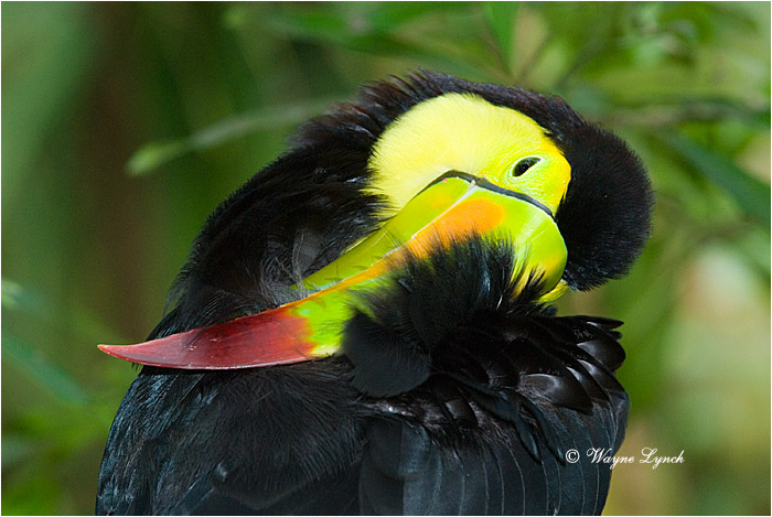 Keel-billed Toucan, Mexico 103 by Dr. Wayne Lynch ©