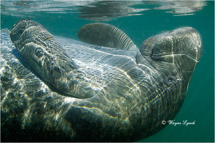 Florida Manatee 108 by Dr. Wayne Lynch ©