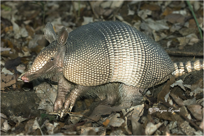Nine-banded Armadillo 112 by Dr. Wayne Lynch ©