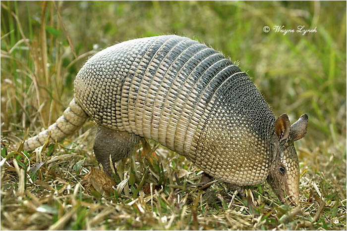 Nine-banded Armadillo 109 by Dr. Wayne Lynch ©