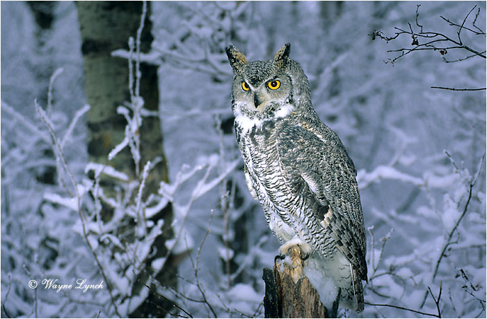 Great Horned Owl 104 by Wayne Lynch ©