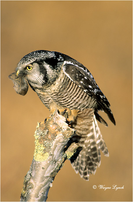 Northen Hawk Owl 103 by Wayne Lynch ©