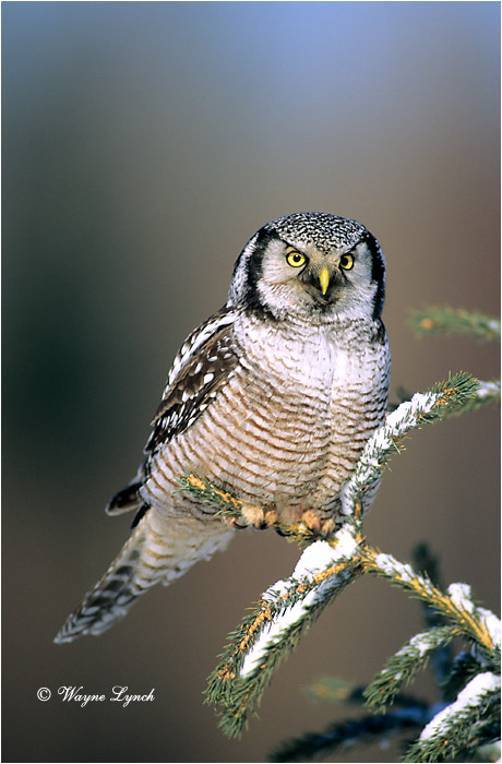 Northern Hawk Owl 101 by Wayne Lynch ©