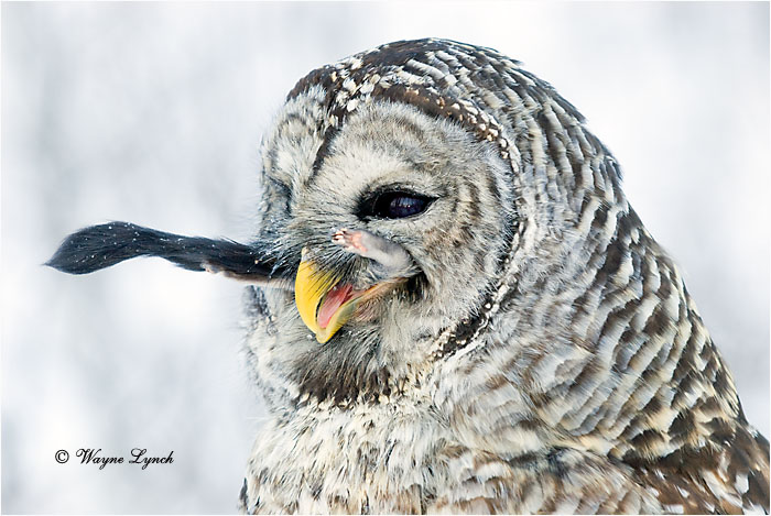 Barred Owl Eating Flying Squirrel 120 by Dr. Wayne Lynch ©