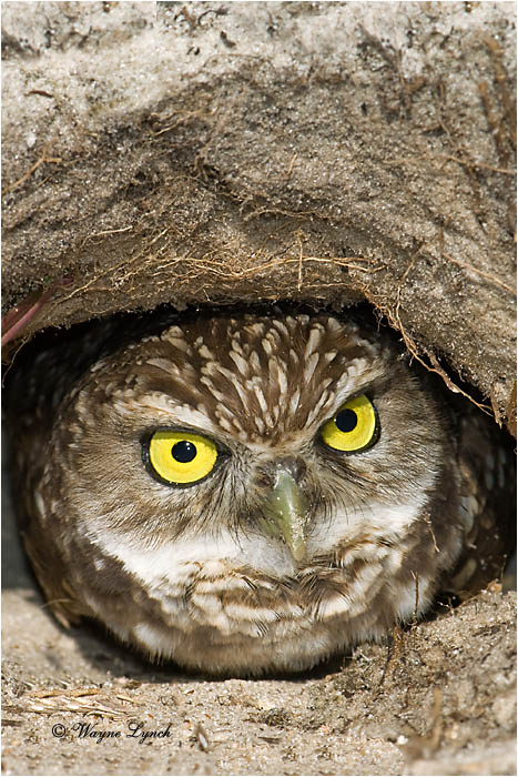 Burrowing Owl in Burrow by Dr. Wayne Lynch ©