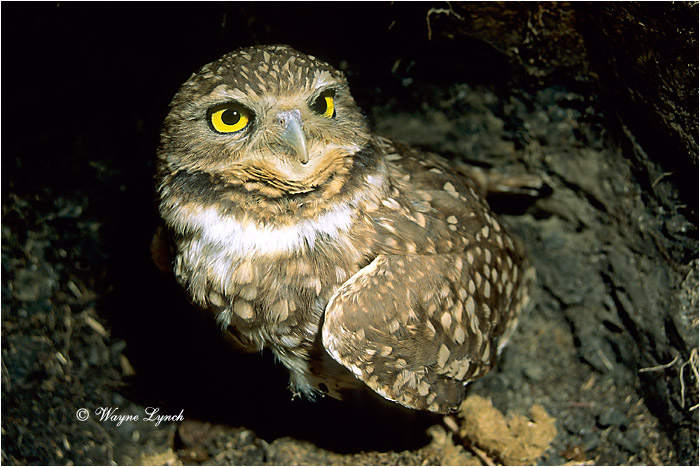 Burrowing Owl by Dr. Wayne Lynch ©