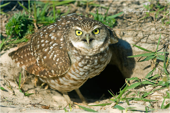 Florida Burrowing Owl 107 by Dr. Wayne Lynch ©