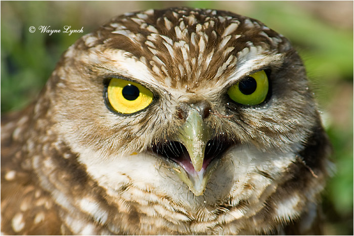 Florida Burrowing Owl 120 by Dr. Wayne Lynch ©