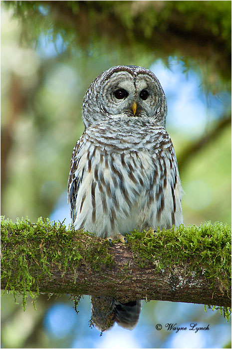 Barred Owl 108 by Wayne Lynch ©